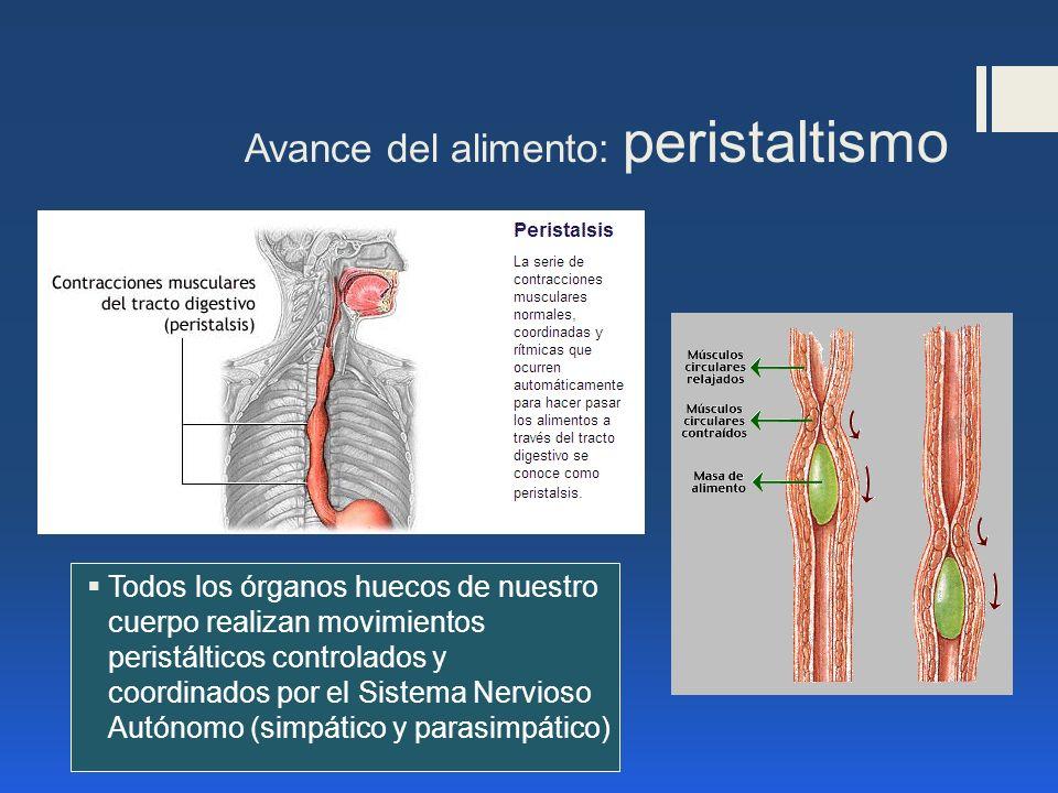 Avance del alimento: peristaltismo Todos los órganos huecos de nuestro cuerpo realizan movimientos peristálticos controlados y coordinados por el Sist