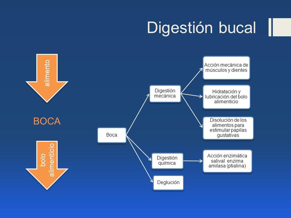 Digestión bucal Boca Digestión mecánica Acción mecánica de músculos y dientes Hidratación y lubricación del bolo alimenticio Disolución de los aliment