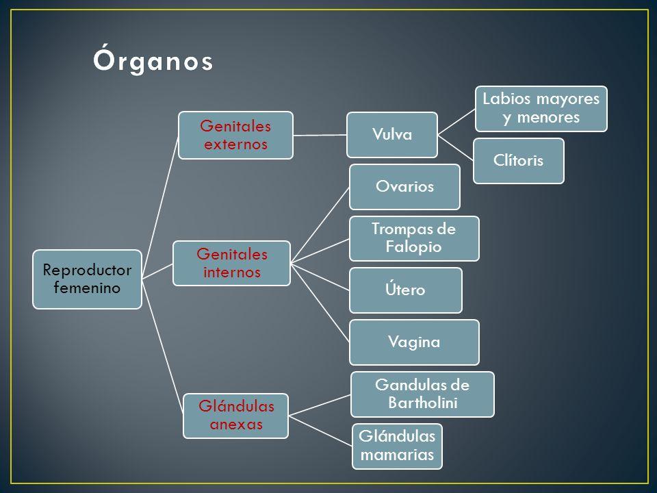 Reproductor femenino Genitales externos Vulva Labios mayores y menores Clítoris Genitales internos Ovarios Trompas de Falopio ÚteroVagina Glándulas an