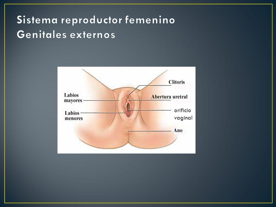 orificio vaginal