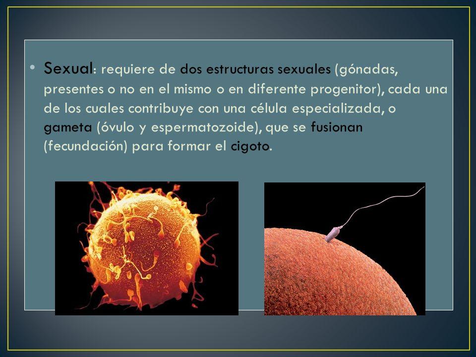 Sexual : requiere de dos estructuras sexuales (gónadas, presentes o no en el mismo o en diferente progenitor), cada una de los cuales contribuye con u
