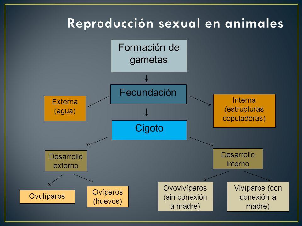 Fecundación Externa (agua) Interna (estructuras copuladoras) Desarrollo externo Cigoto Desarrollo interno Ovíparos (huevos) Vivíparos (con conexión a