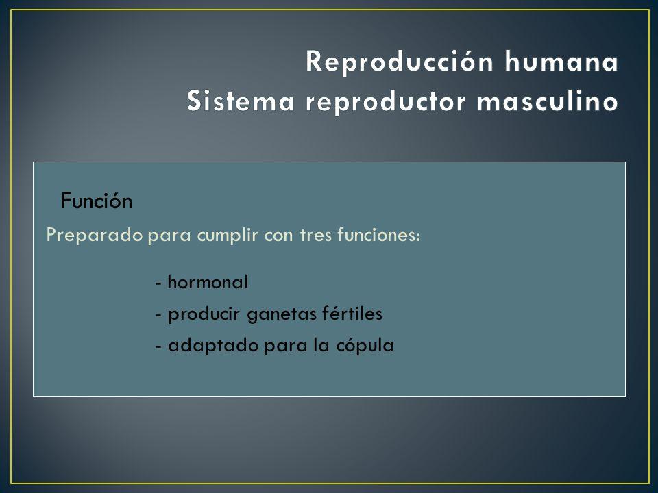 Reproductor masculino Genitales externos Escroto Pene Genitales internos Testículos Vías o conductos genitales Epidídimo Conducto deferente Uretra Glándulas anexas Glándulas seminalesPróstataGlándula de Cowper