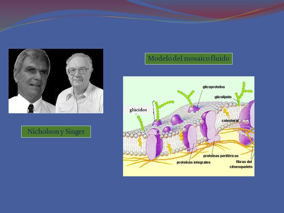 Nicholson y Singer Modelo del mosaico fluido glúcidos