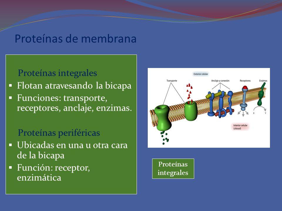 Modelo tridimensional de la membrana y sus componentes