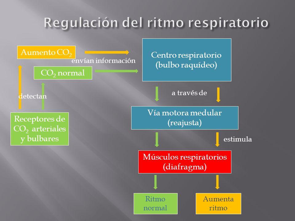 Receptores de CO 2 arteriales y bulbares Centro respiratorio (bulbo raquídeo) envían información Vía motora medular (reajusta) Músculos respiratorios