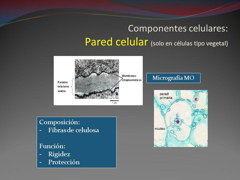 Componentes celulares: Pared celular (solo en células tipo vegetal) Composición: -Fibras de celulosa Función: -Rigidez -Protección Micrografía MO