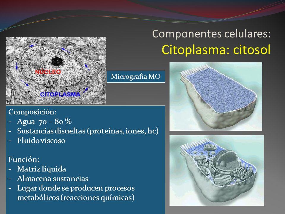 Componentes celulares: Citoplasma: citosol Composición: -Agua 70 – 80 % -Sustancias disueltas (proteínas, iones, hc) -Fluido viscoso Función: -Matriz