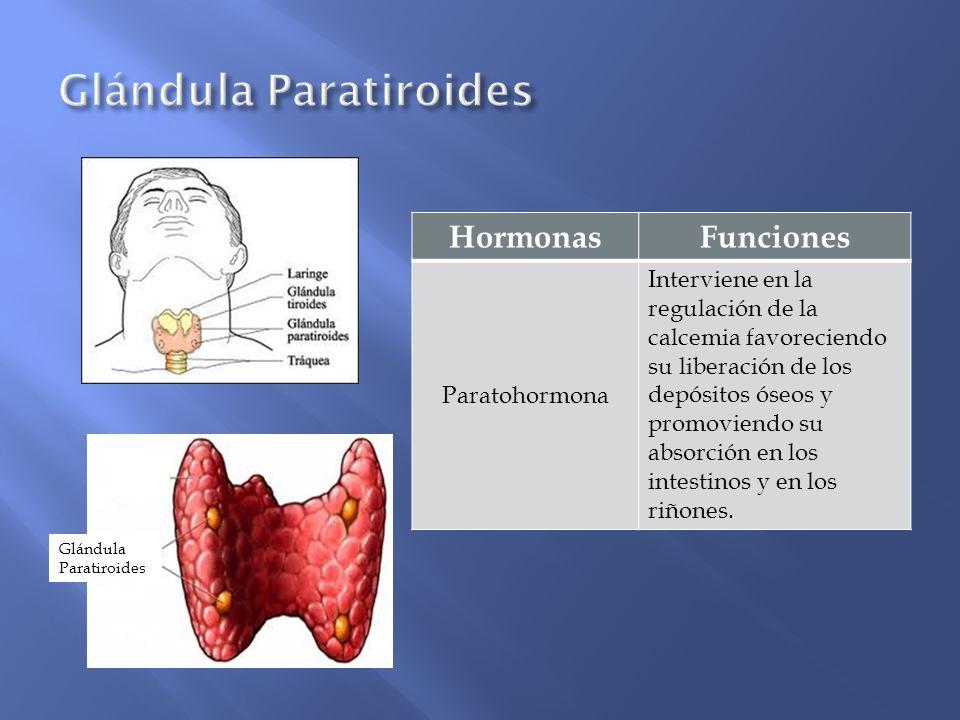 Glándula Paratiroides HormonasFunciones Paratohormona Interviene en la regulación de la calcemia favoreciendo su liberación de los depósitos óseos y p