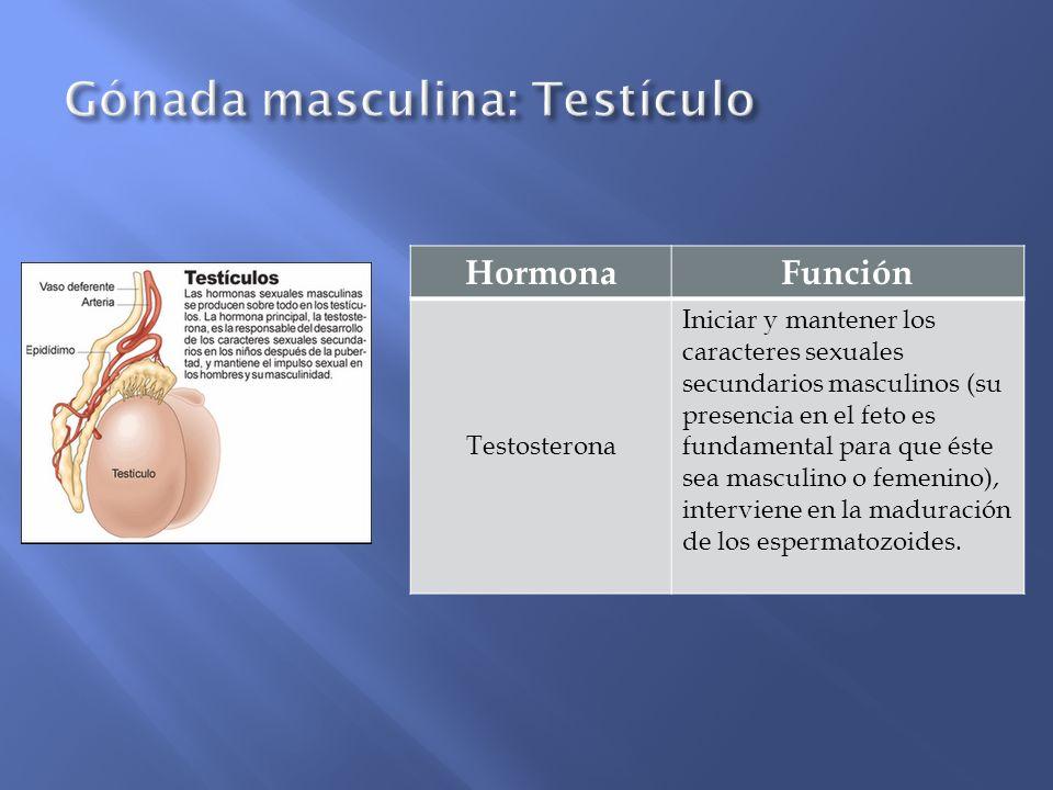 HormonaFunción Testosterona Iniciar y mantener los caracteres sexuales secundarios masculinos (su presencia en el feto es fundamental para que éste se