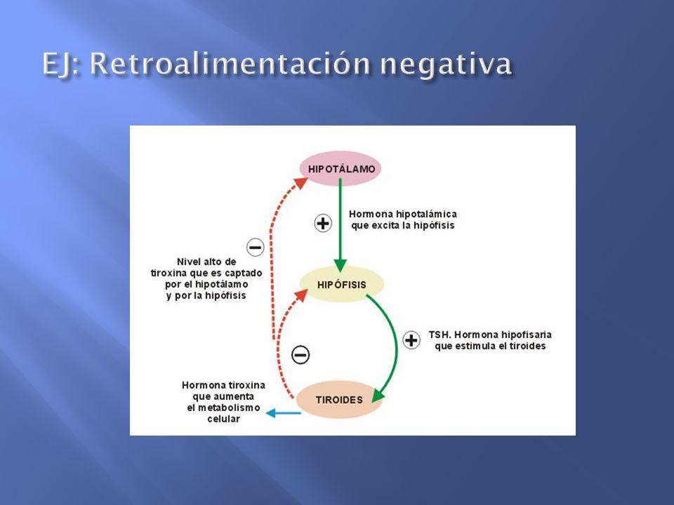 Hipotálamo Neurohipófisis Oxitocina Estímulo de succión + +