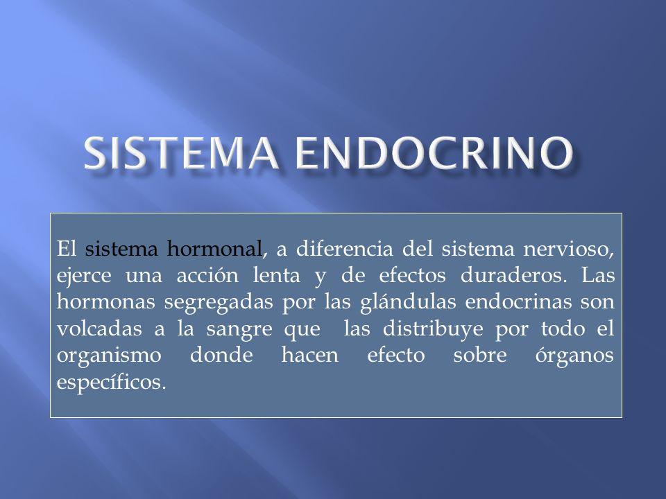 El sistema hormonal, a diferencia del sistema nervioso, ejerce una acción lenta y de efectos duraderos. Las hormonas segregadas por las glándulas endo