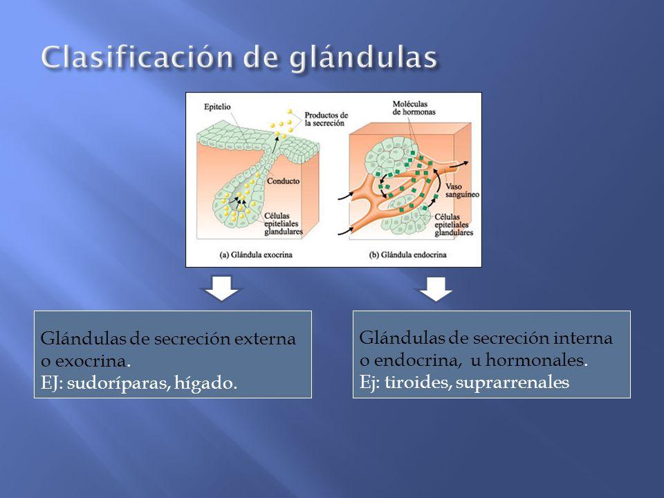 Glándulas de secreción interna o endocrina, u hormonales. Ej: tiroides, suprarrenales Glándulas de secreción externa o exocrina. EJ: sudoríparas, híga