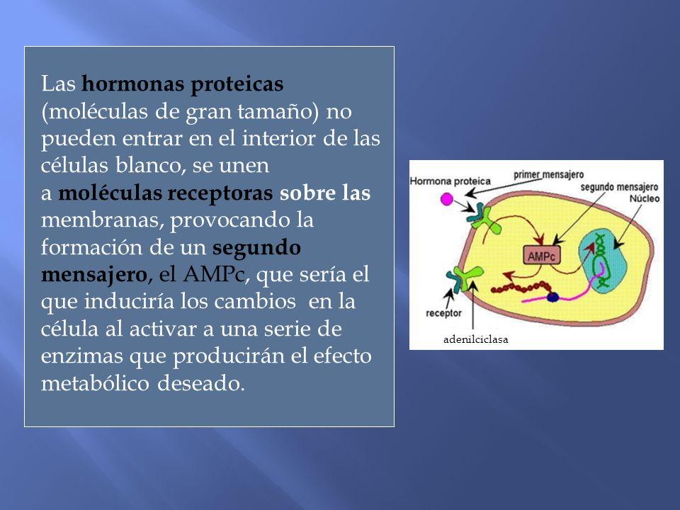 Las hormonas proteicas (moléculas de gran tamaño) no pueden entrar en el interior de las células blanco, se unen a moléculas receptoras sobre las memb