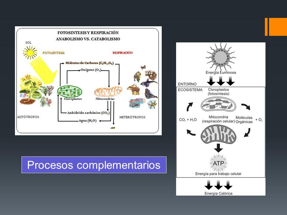 Etapas del proceso Glucólisis Formación de acetil CoA Ciclo de Krebs Cadena transportadora de e- y fosforilación oxidativa Citoplasma Crestas mitocondriales Matriz mitocondrial