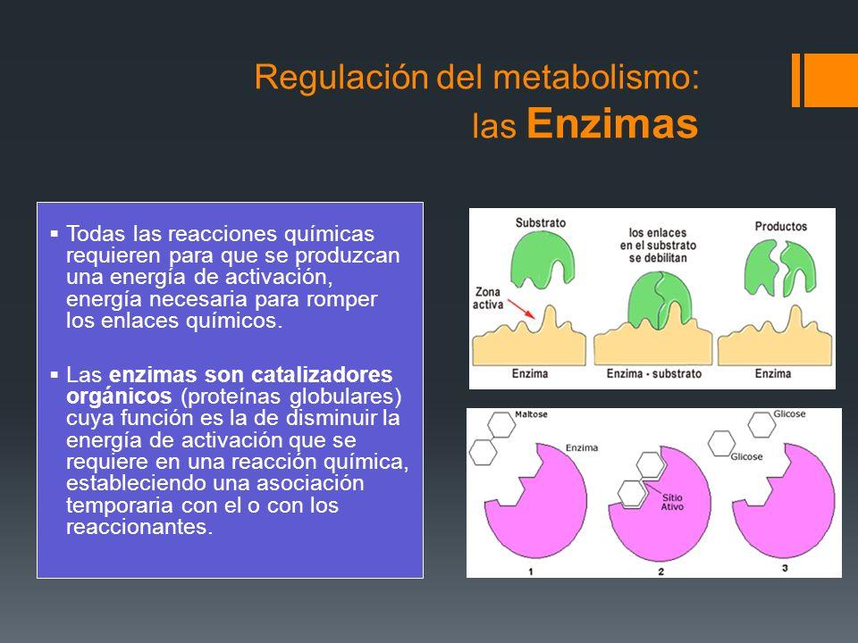 Características de las enzimas Son específicas, siempre actúan catalizando las mismas reacciones, siempre actúan sobre el mismo sustrato.