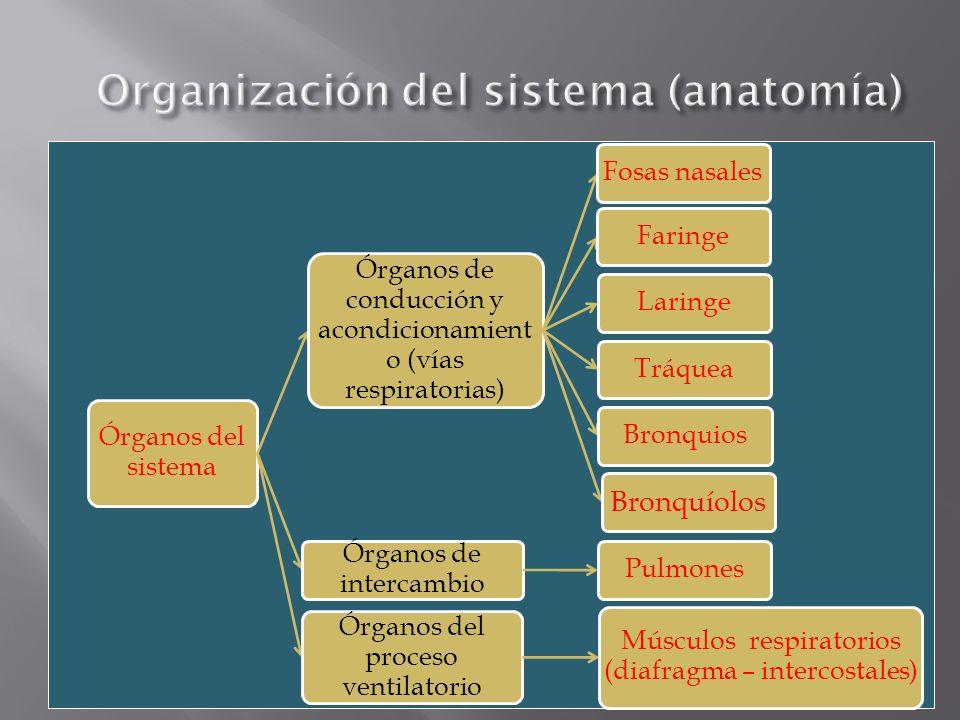 Órganos del sistema Órganos de conducción y acondicionamient o (vías respiratorias) Fosas nasalesFaringeLaringeTráqueaBronquios Bronquíolos Órganos de