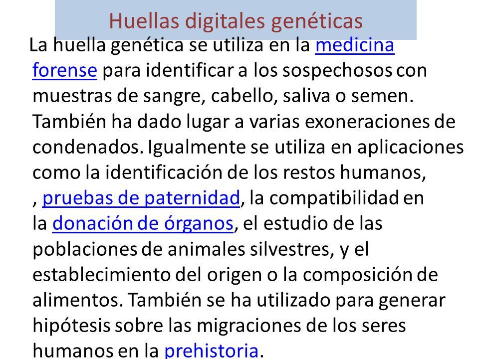 Huellas digitales genéticas La huella genética se utiliza en la medicina forense para identificar a los sospechosos con muestras de sangre, cabello, s