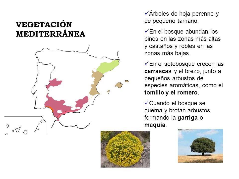 Árboles de hoja perenne y de pequeño tamaño. En el bosque abundan los pinos en las zonas más altas y castaños y robles en las zonas más bajas. En el s