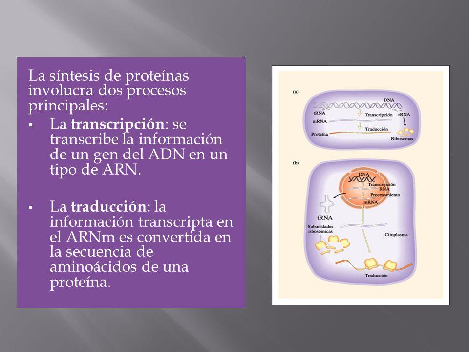 La síntesis de proteínas involucra dos procesos principales: La transcripción : se transcribe la información de un gen del ADN en un tipo de ARN. La t