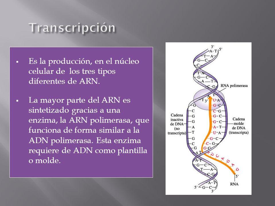 Es la producción, en el núcleo celular de los tres tipos diferentes de ARN. La mayor parte del ARN es sintetizado gracias a una enzima, la ARN polimer