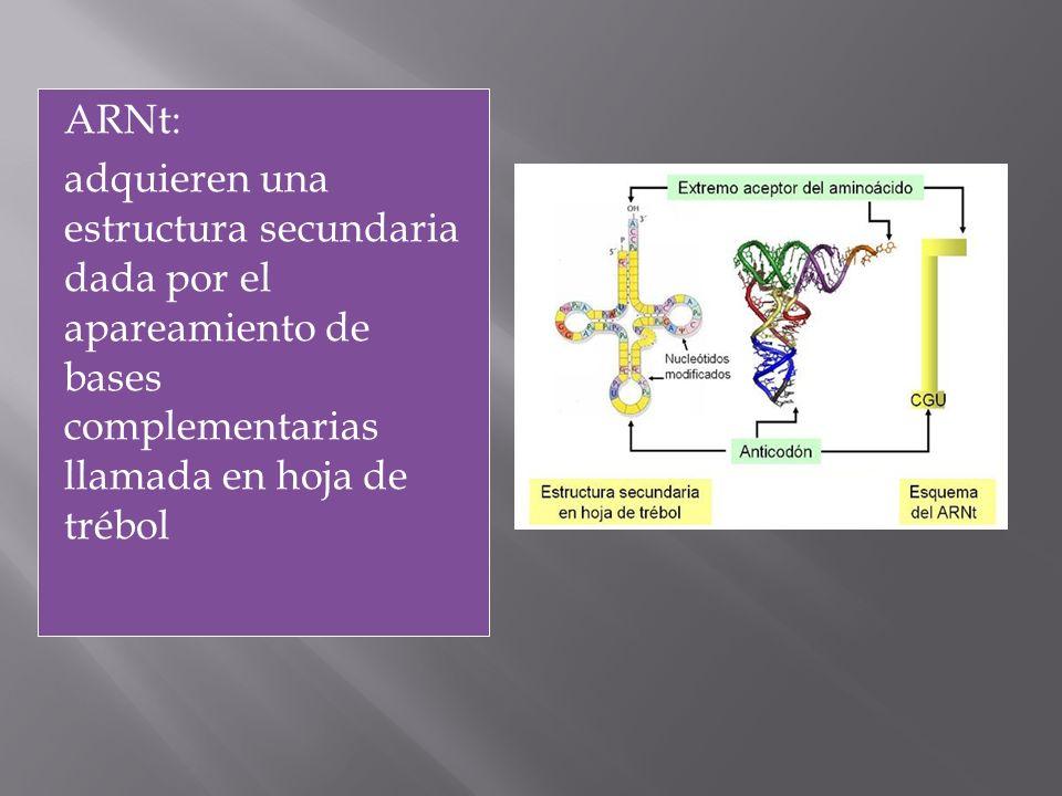ARNt: adquieren una estructura secundaria dada por el apareamiento de bases complementarias llamada en hoja de trébol t