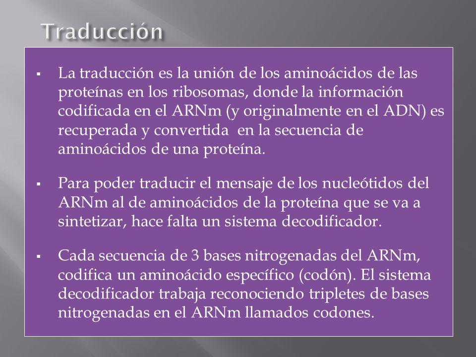La traducción es la unión de los aminoácidos de las proteínas en los ribosomas, donde la información codificada en el ARNm (y originalmente en el ADN)