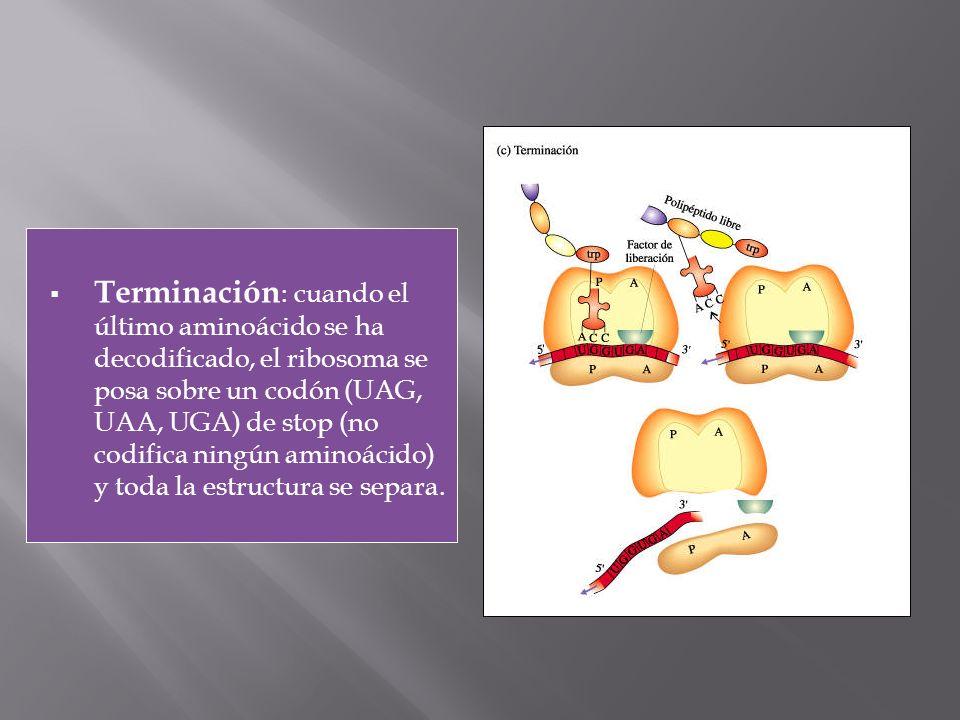 Terminación : cuando el último aminoácido se ha decodificado, el ribosoma se posa sobre un codón (UAG, UAA, UGA) de stop (no codifica ningún aminoácid