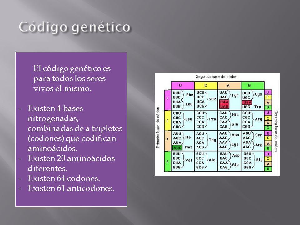 El código genético es para todos los seres vivos el mismo. -Existen 4 bases nitrogenadas, combinadas de a tripletes (codones) que codifican aminoácido