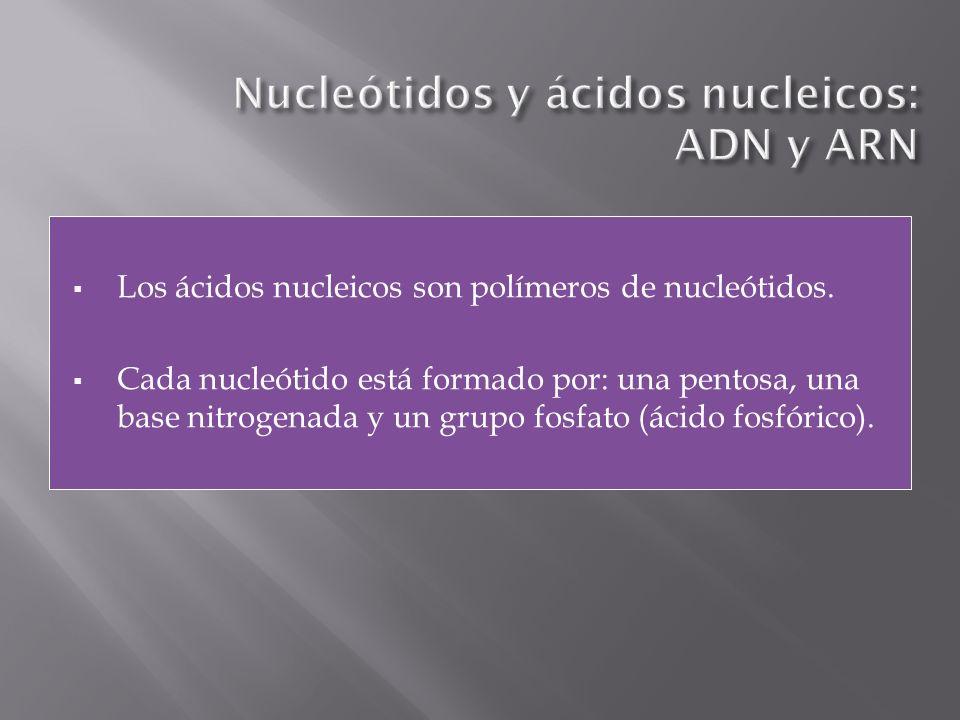Los ácidos nucleicos son polímeros de nucleótidos. Cada nucleótido está formado por: una pentosa, una base nitrogenada y un grupo fosfato (ácido fosfó