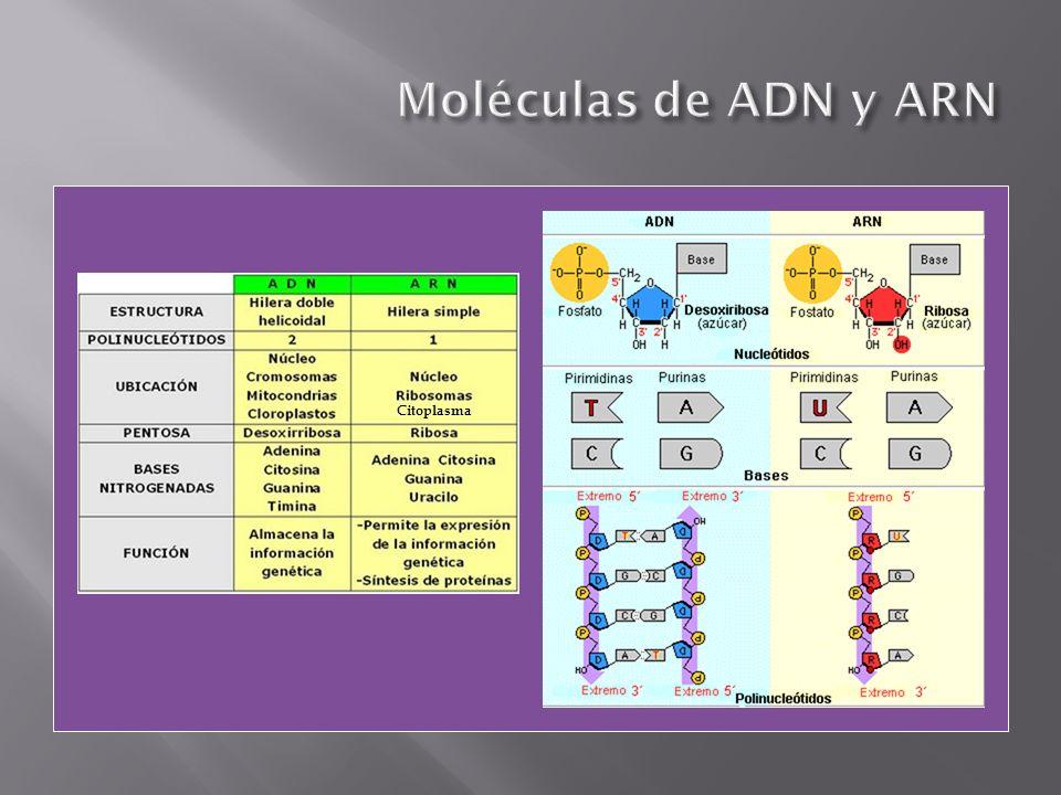 ARNr: Forman la subunidad mayor y menor del ribosoma