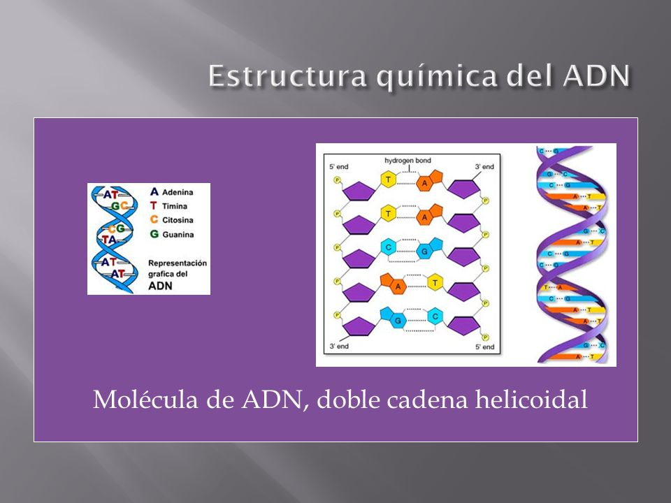 Propone que cada hebra de la molécula original sirve de molde para la síntesis de una cadena complementaria hija.