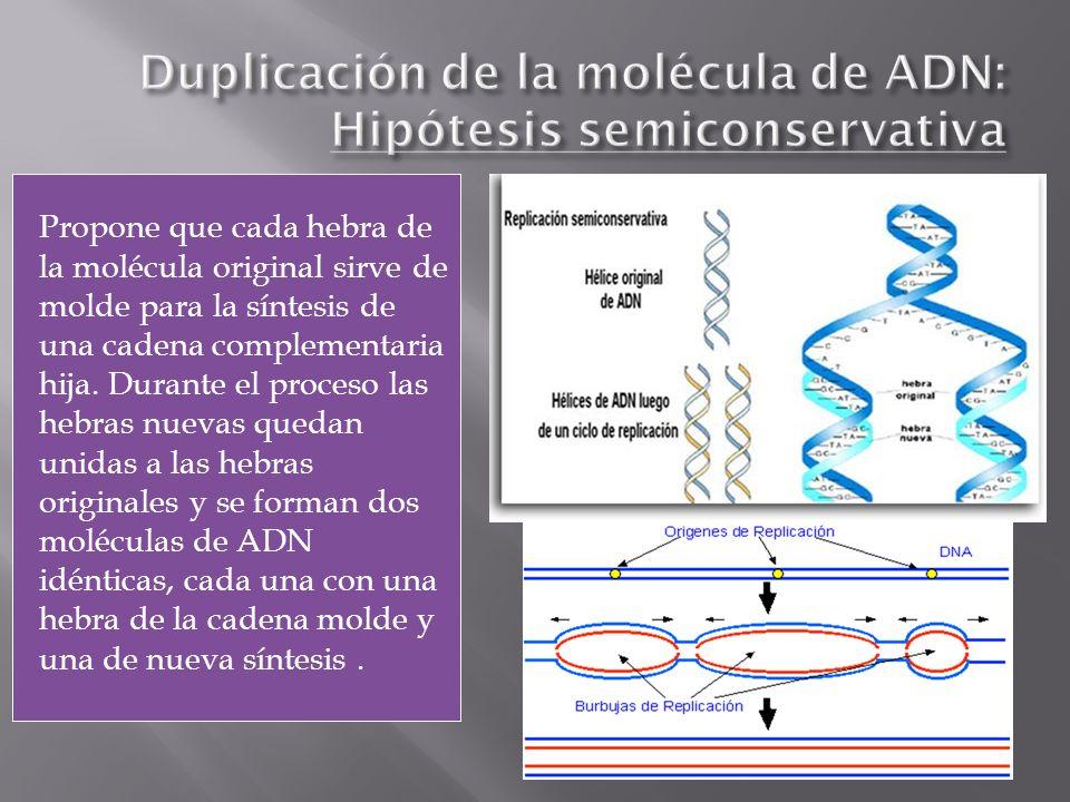 Propone que cada hebra de la molécula original sirve de molde para la síntesis de una cadena complementaria hija. Durante el proceso las hebras nuevas