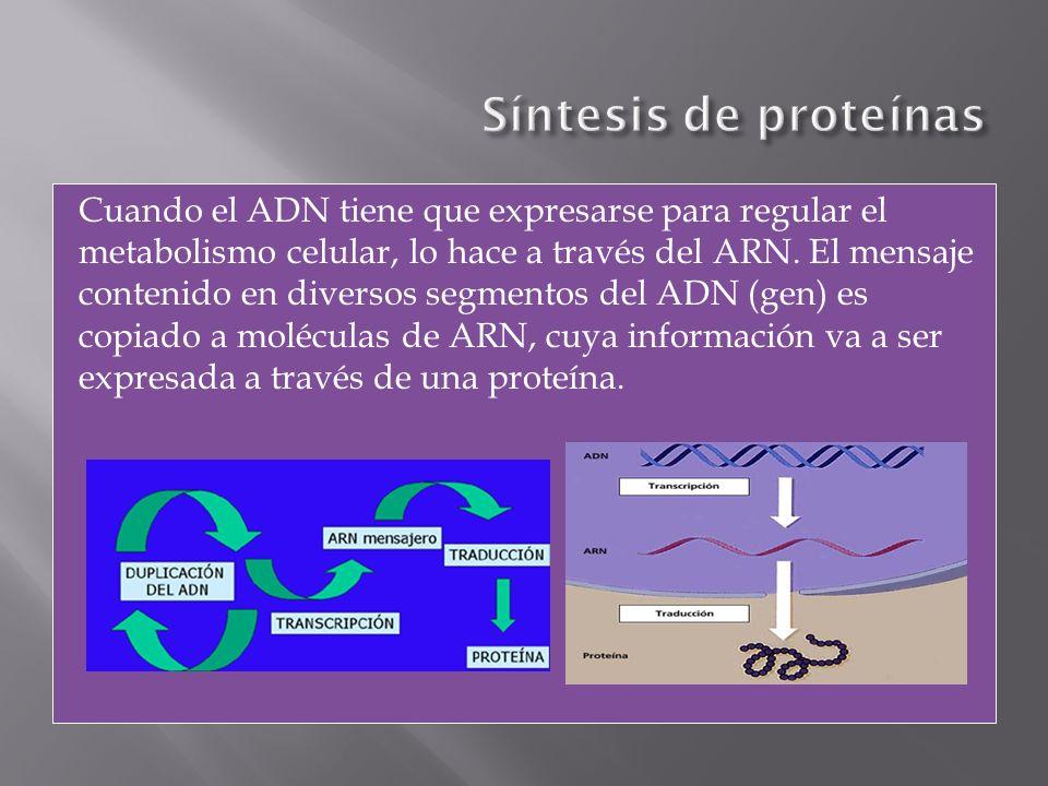 Cuando el ADN tiene que expresarse para regular el metabolismo celular, lo hace a través del ARN. El mensaje contenido en diversos segmentos del ADN (