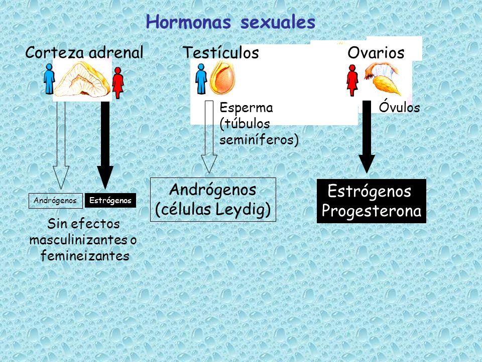 Hormonas sexuales Estrógenos Andrógenos Sin efectos masculinizantes o femineizantes TestículosOvarios Andrógenos (células Leydig) Estrógenos Progester