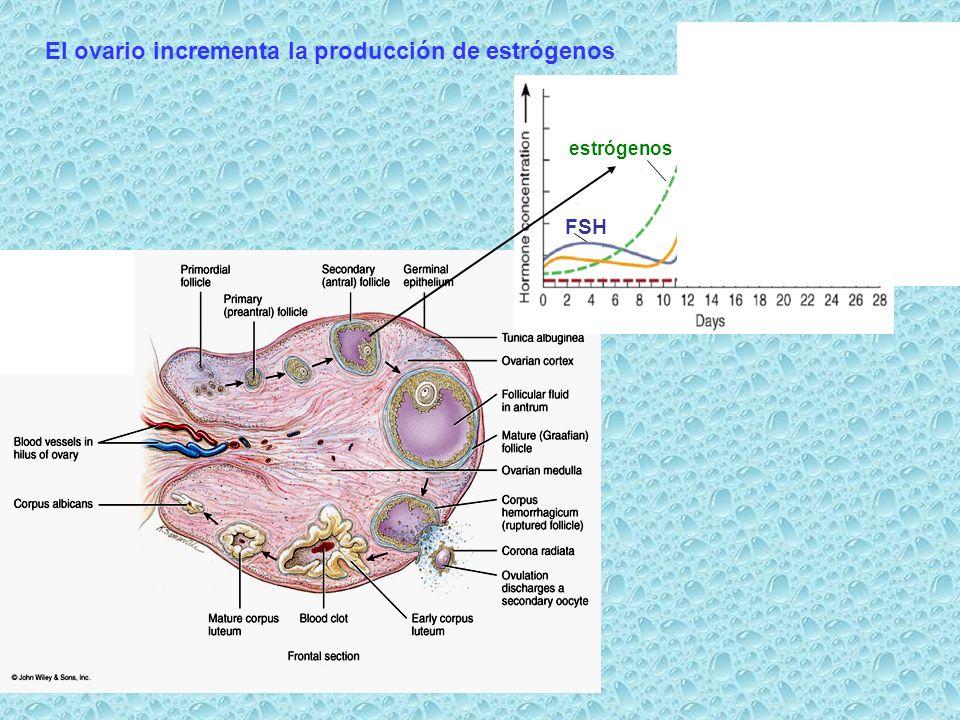 FSH estrógenos El ovario incrementa la producción de estrógenos