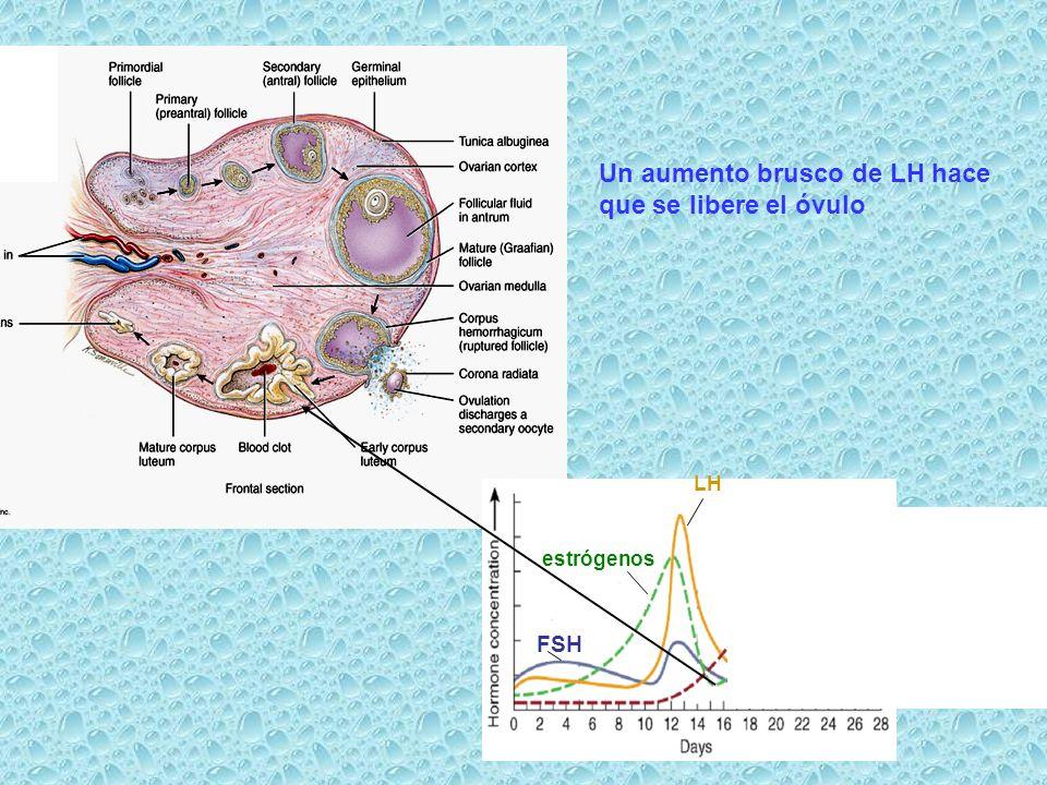 FSH estrógenos LH Un aumento brusco de LH hace que se libere el óvulo
