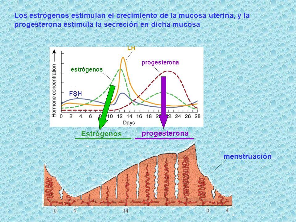 Estrógenos progesterona FSH estrógenos LH progesterona Los estrógenos estimulan el crecimiento de la mucosa uterina, y la progesterona estimula la sec