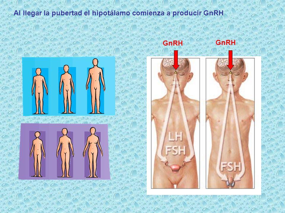 Gn-RH FSH LH HIPOTÁLAMO ADENOHIPÓFISIS TESTÍCULO La secreción de testosterona durante la pubertad se debe a la secreción de gonadotropinas Tubos Seminíferos Células de Leydig Espermatozoides Testosterona