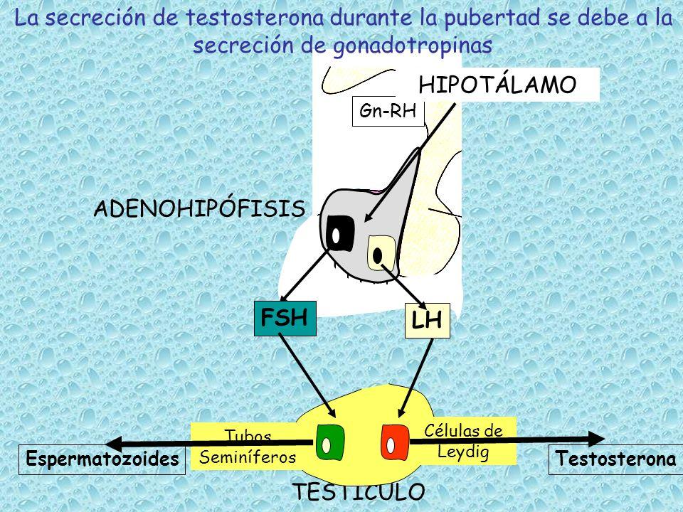 Los espermatozoides se producen en el epitelio de los túbulos seminíferos y maduran en el epidídimo