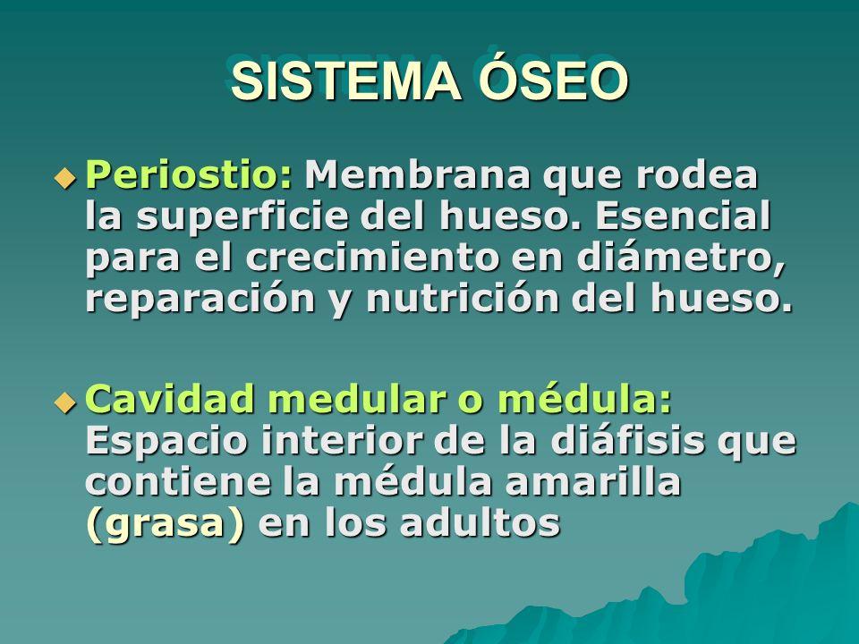 SISTEMA ÓSEO Periostio: Membrana que rodea la superficie del hueso. Esencial para el crecimiento en diámetro, reparación y nutrición del hueso. Perios