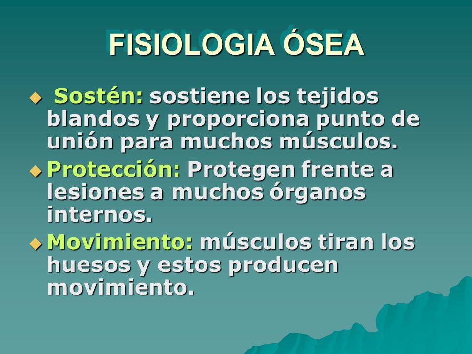 FISIOLOGIA ÓSEA Sostén: sostiene los tejidos blandos y proporciona punto de unión para muchos músculos. Sostén: sostiene los tejidos blandos y proporc