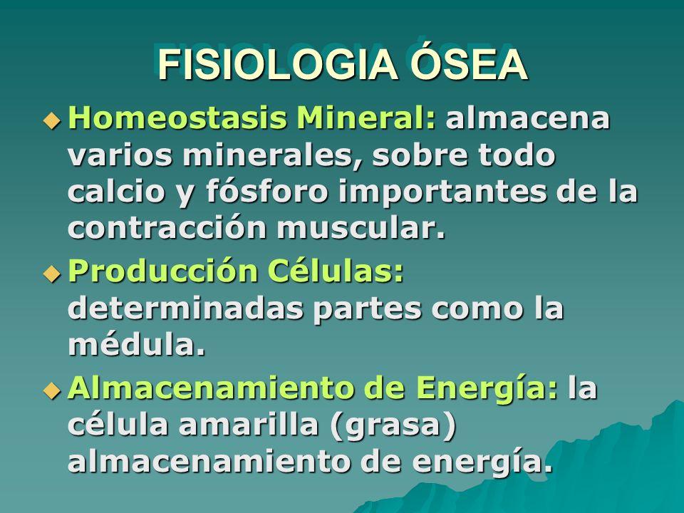 FISIOLOGIA ÓSEA Homeostasis Mineral: almacena varios minerales, sobre todo calcio y fósforo importantes de la contracción muscular. Homeostasis Minera