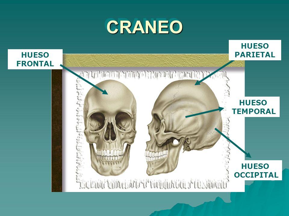 CRANEOCRANEO HUESO FRONTAL HUESO PARIETAL HUESO OCCIPITAL HUESO TEMPORAL