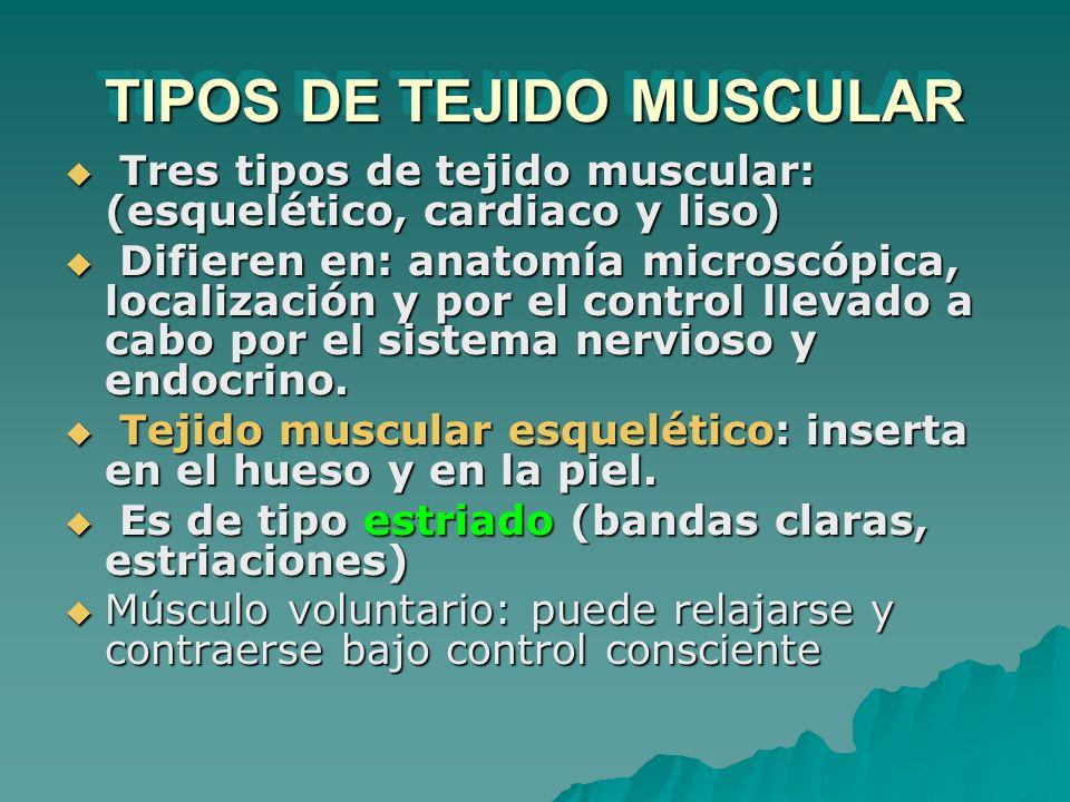 TIPOS DE TEJIDO MUSCULAR Tres tipos de tejido muscular: (esquelético, cardiaco y liso) Tres tipos de tejido muscular: (esquelético, cardiaco y liso) D