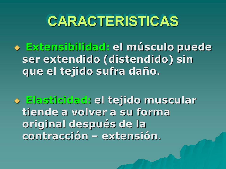 Extensibilidad: el músculo puede ser extendido (distendido) sin que el tejido sufra daño. Extensibilidad: el músculo puede ser extendido (distendido)
