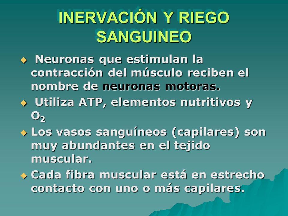 INERVACIÓN Y RIEGO SANGUINEO Neuronas que estimulan la contracción del músculo reciben el nombre de neuronas motoras. Neuronas que estimulan la contra