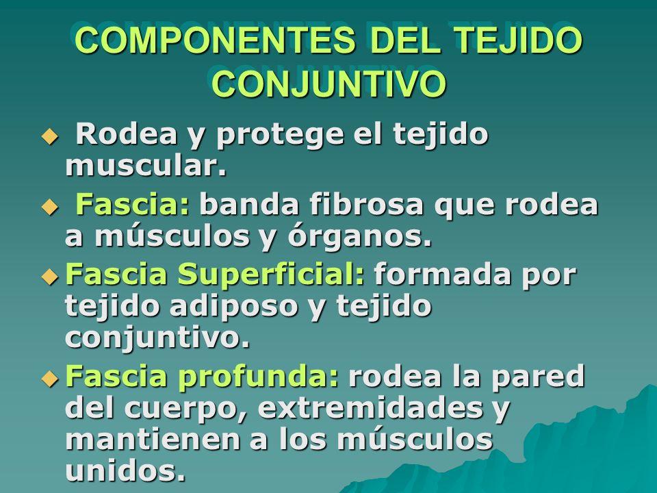 COMPONENTES DEL TEJIDO CONJUNTIVO Rodea y protege el tejido muscular. Rodea y protege el tejido muscular. Fascia: banda fibrosa que rodea a músculos y