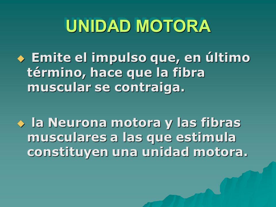 UNIDAD MOTORA Emite el impulso que, en último término, hace que la fibra muscular se contraiga. Emite el impulso que, en último término, hace que la f