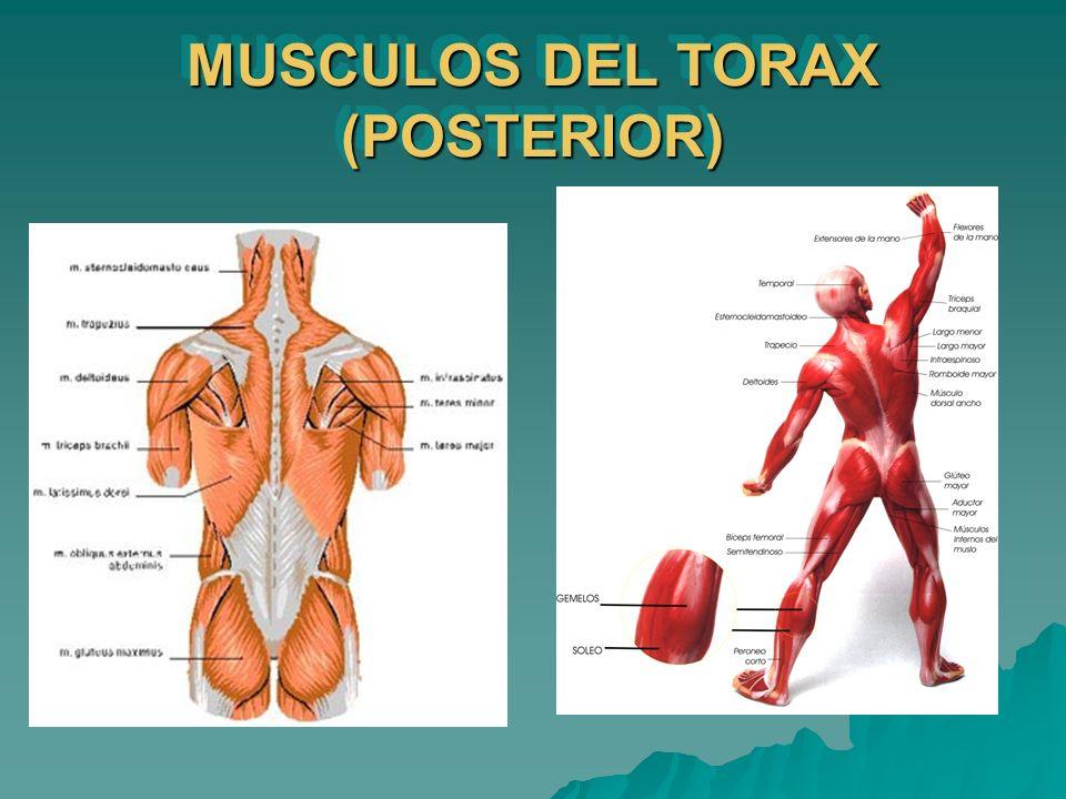 MUSCULOS DEL TORAX (POSTERIOR)